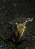 Fierce Bobbit-worm