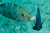 Rockmover wrasse, moving a rock