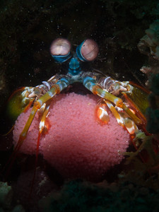 Mantis Shrimp with eggs