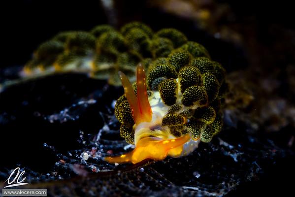 Broccoli nudi