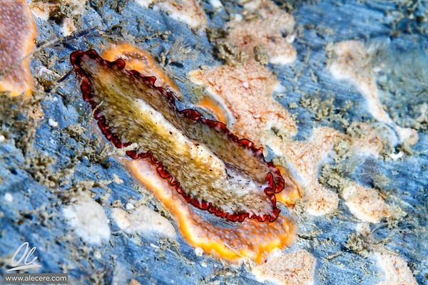 Flatworm on sponge