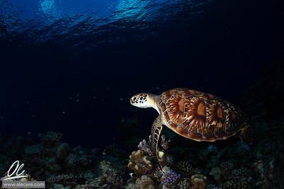 Dreaming of turtles #1