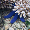 Blue Starfish at Matangi Island, Fiji