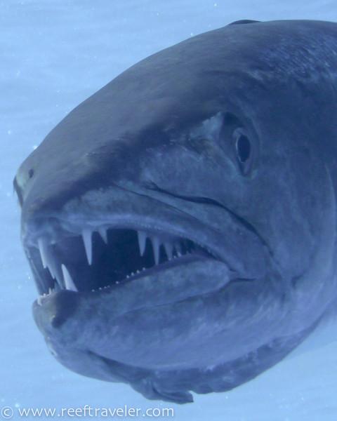 Barracuda Close Up, Moorea