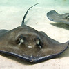 Stingray Duo, Grand Cayman
