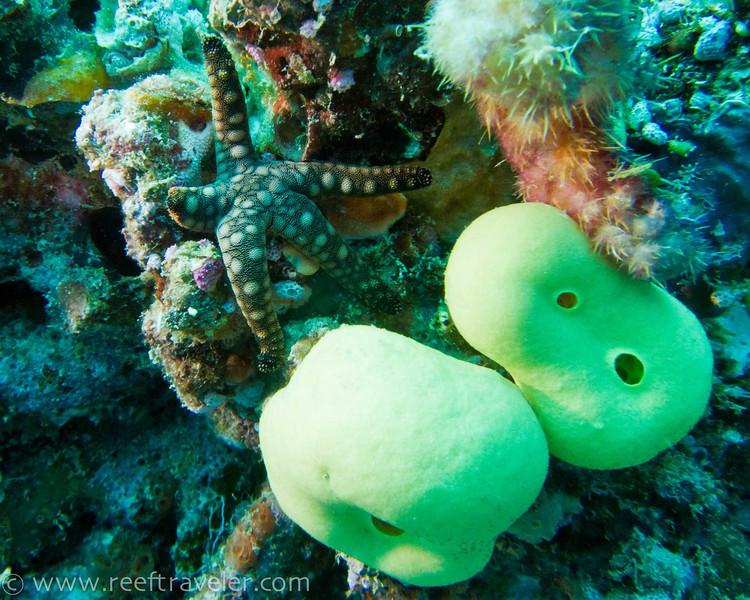 Starfish, Matangi Island, Fiji