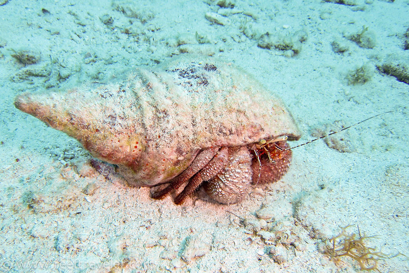 Hermit Crab, St. Thomas, USVI