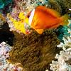 Fijian Clownfish, Matangi Island