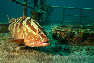 A very friendly Nassau Grouper on the Edwin Williams