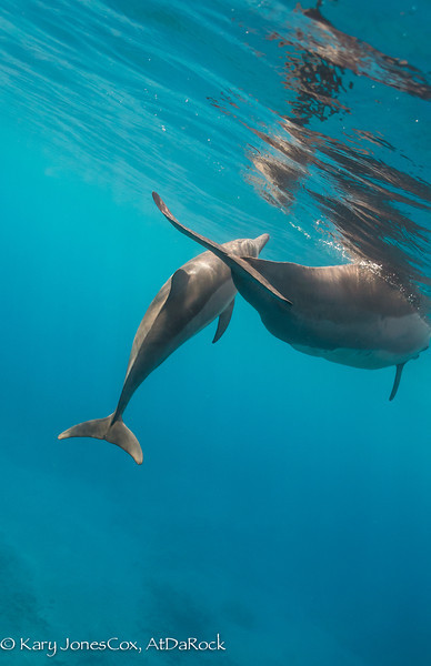 Spinner Dolphin with Calf