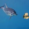 Valentine Dolphin