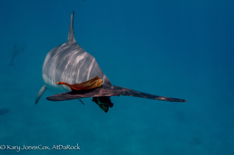 Spinner Dolphin playing with a Tropical Almond leaf