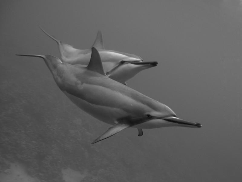 Hawaiian Spinner Dolphins In Papa Bay, Milolii