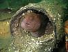 Juvenile Wolf eel
