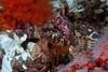Coralline Sculpin, artedius corallinus