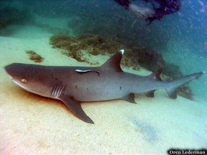 White tip sharks (under the pier)