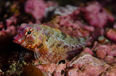 Sculpin at Santa Barbara Island, California