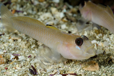 Black Eyed Goby, Anacapa Island, California