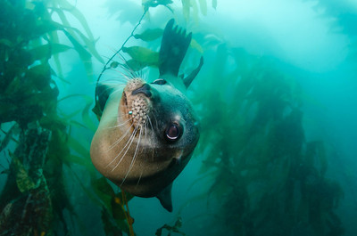 Sea Lion at Santa Barbara Island, California