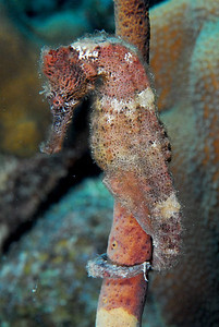 Perfectly-posed seahorse.