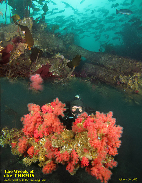 Sunk on December 15, 1906, the wreck of Themis is home to marine life, School of Black Rockfish hovers over the reef which was the demise of the 1208 ton ship. Jake peeking from bouquet of Red Soft Coral.<br /> March 26, 2010