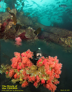 Sunk on December 15, 1906, the wreck of Themis is home to marine life, School of Black Rockfish hovers over the reef which was the demise of the 1208 ton ship. Jake peeking from bouquet of Red Soft Coral. March 26, 2010