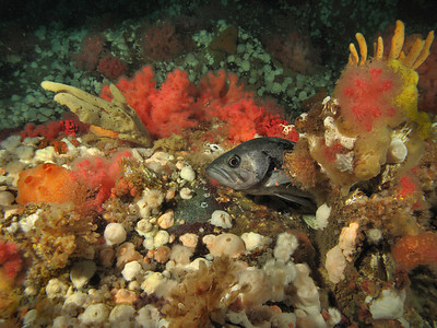 Black Rockfish among the colorful invertebrates on Browning Wall, March 26, 2010