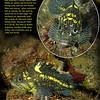 CHINA ROCKFISH  (Sebastes nebulosus), Wreck of the Themis, March 26, 2010