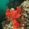 RED SOFT CORAL<br /> Browning Wall, Canada,  March 28, 2010