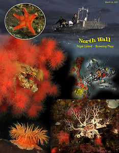 Our first dive. The world above might be gray and dreary, rainy and windy , but beneath the waves the world is full of wonders, never ending procession of colors, shapes and textures.  North Wall on Nigei Island, Browning Pass. Canada.   March 25, 2010