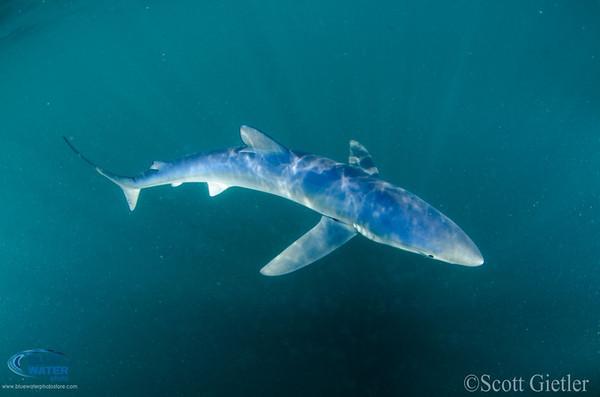BWP Blue Shark Trip