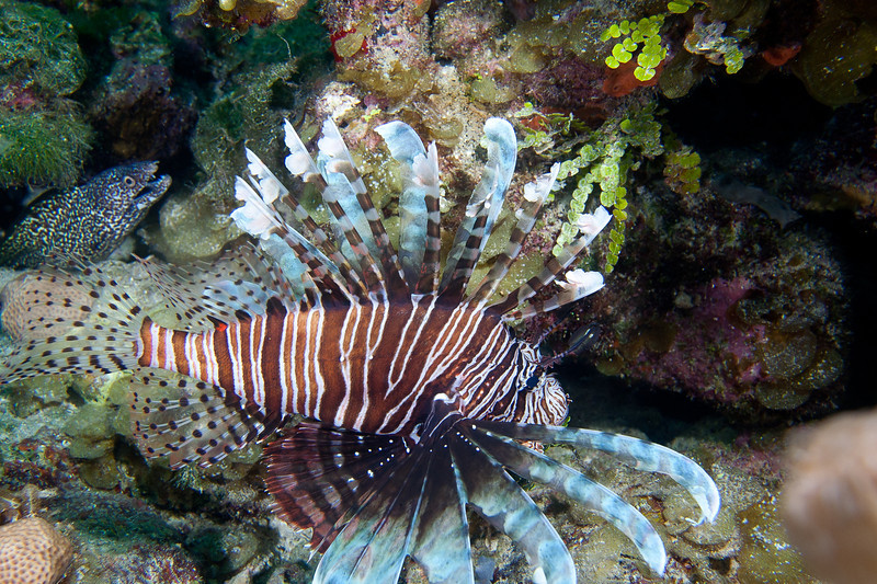 Lionfish and please notice the Spotted Moray in the background.