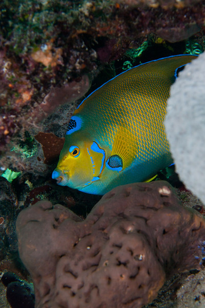 This Queen Angelfish was trying hard to avoid me.