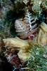 Christmas tree worm