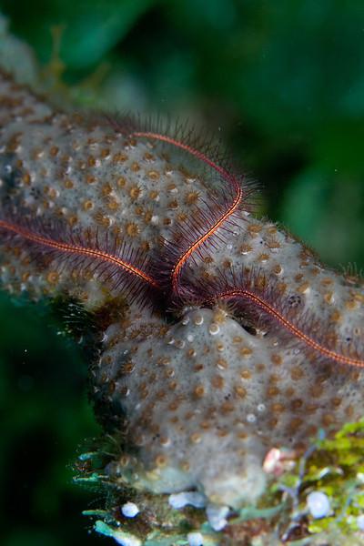 Brittle starfish