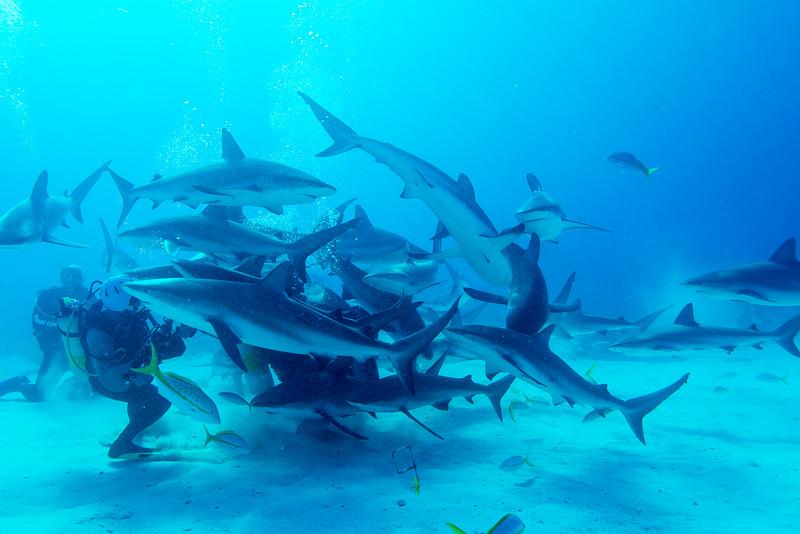 Caribbean Reef Sharks engulfing shark feeder in Nassau, Bahamas - February 2017