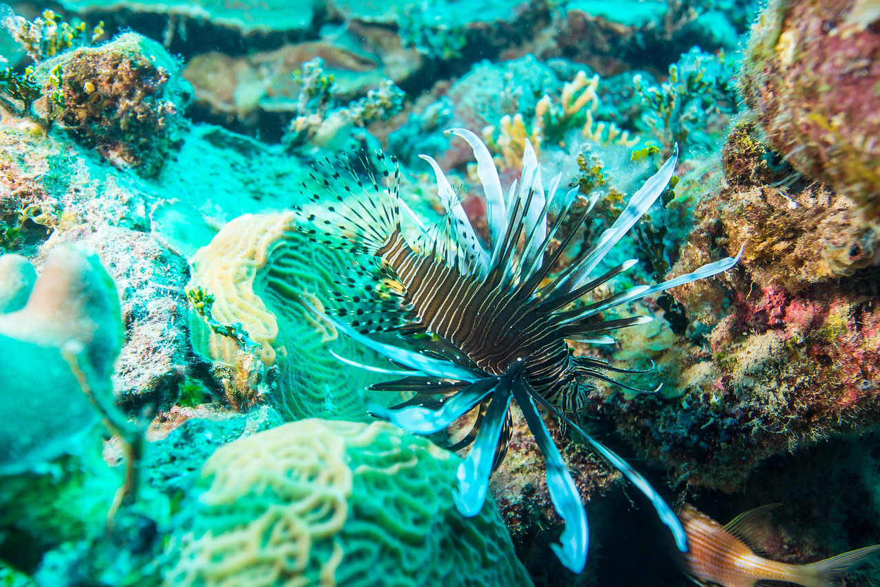 "Lion Fish at ""Steel Forrest"" dive site in Nassau, Bahamas - February 2017"