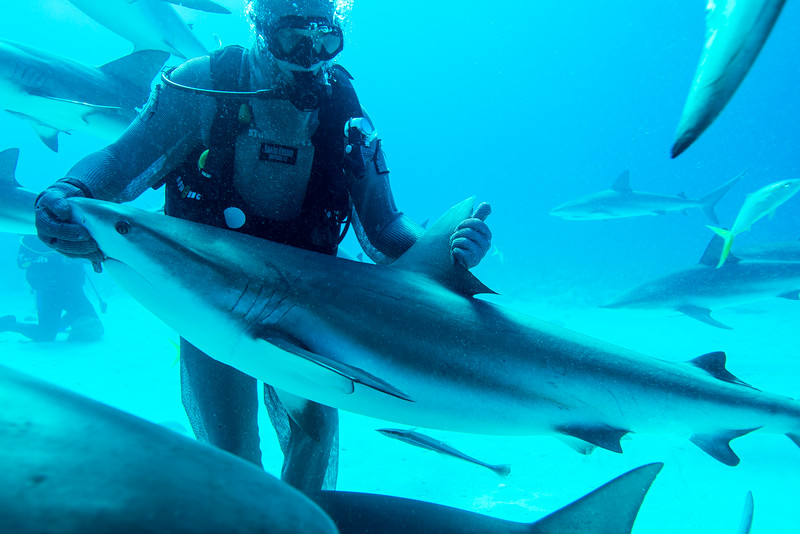"""Shark feeder demonstrating how to put a shark into a trance called """"Tonic Immobility"""" in Nassau, Bahamas - February 2017"""