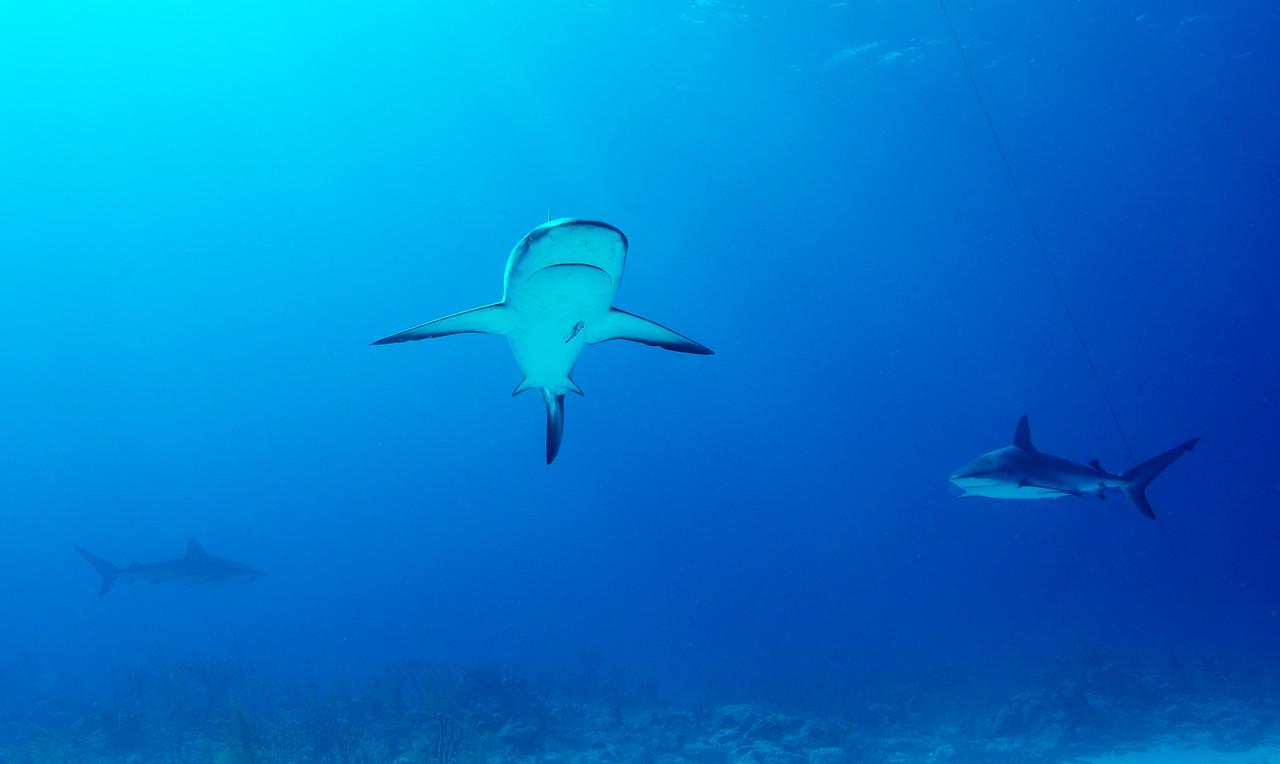 Caribbean Reef Sharks, Nassau, Bahamas - February 2017