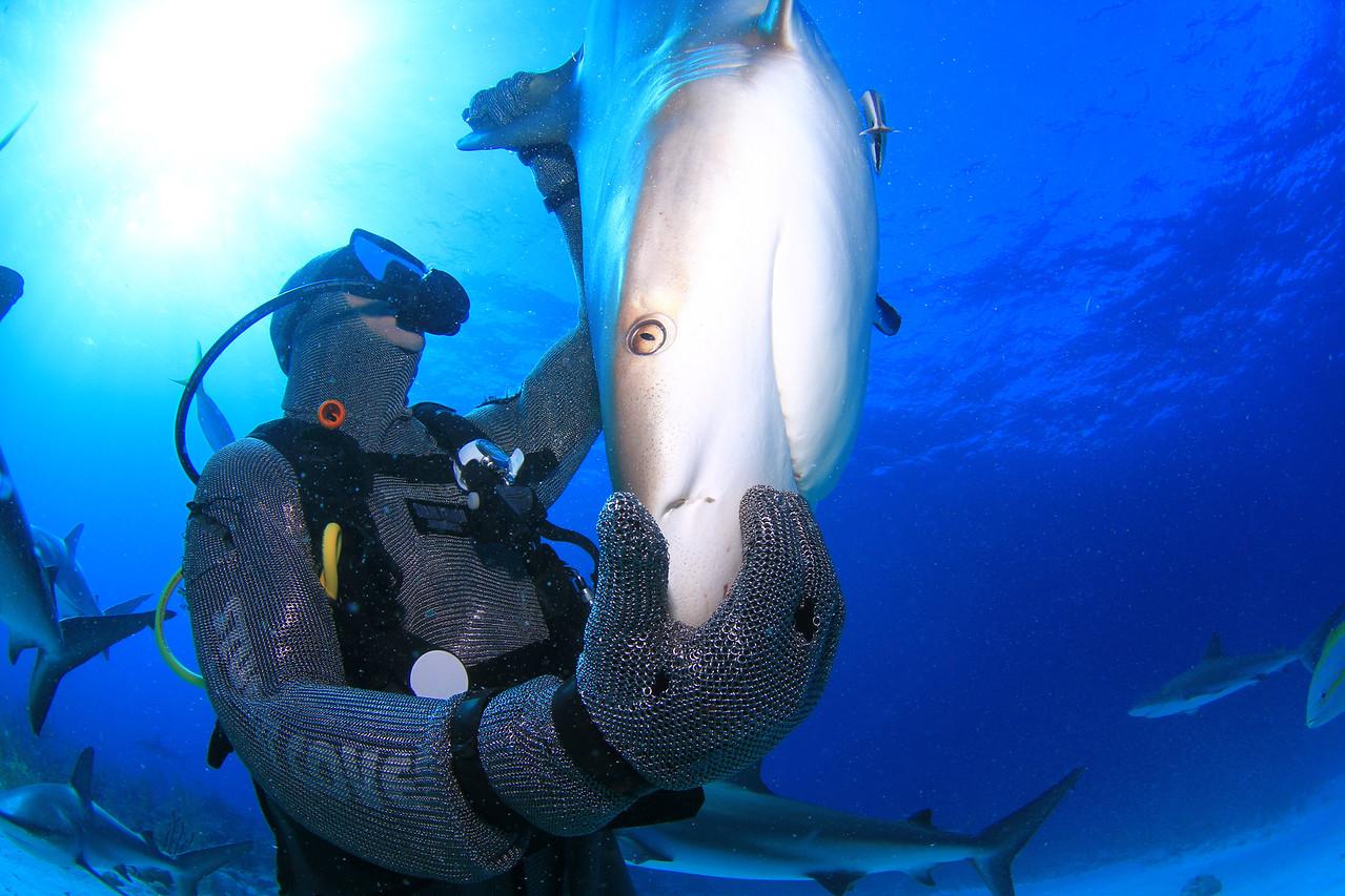 Shark feeder with shark in trance.  Nassau, Bahamas - February 2017 (image taken by Stuart Coves)