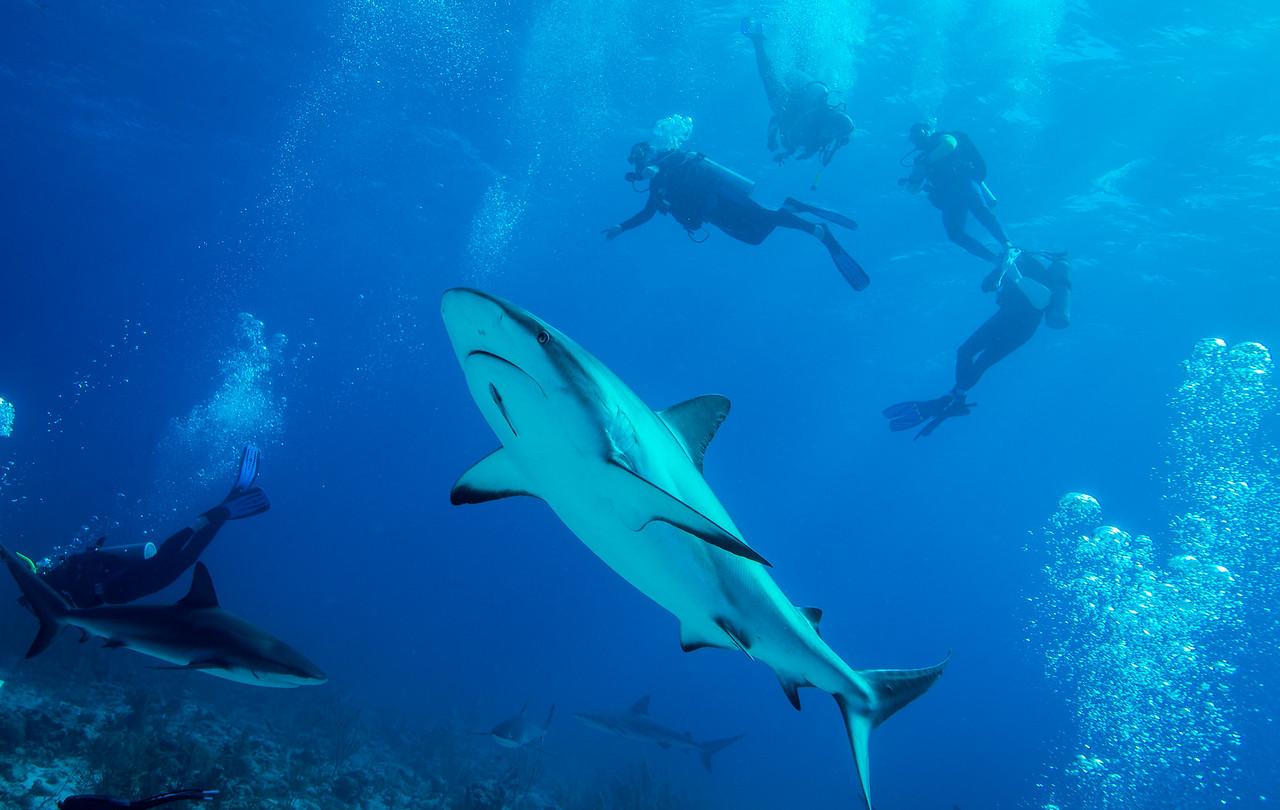 Caribbean Reef sharks and divers, Nassau, Bahamas - February 2017