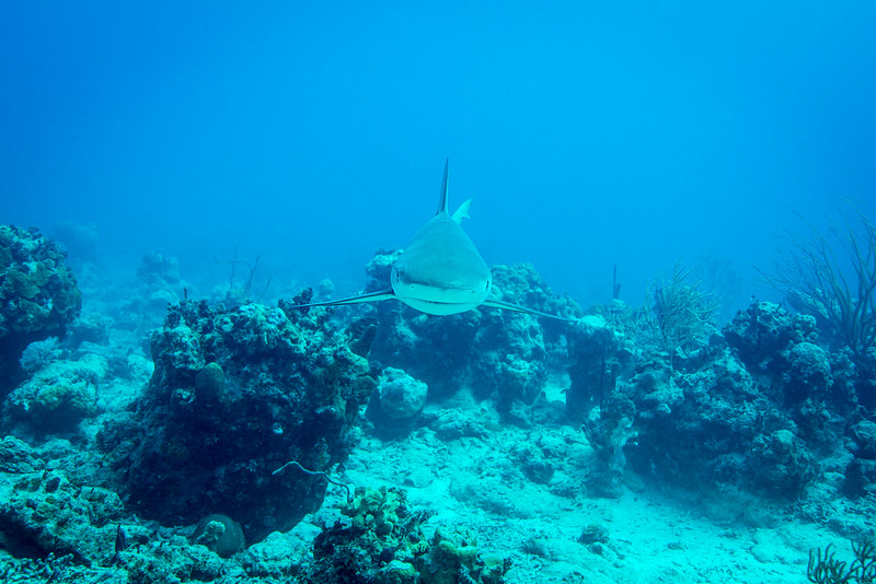 """Curious Caribbean Reef Shark at """"Mike's Dive"""" site in Nassau, Bahamas - February 2017"""