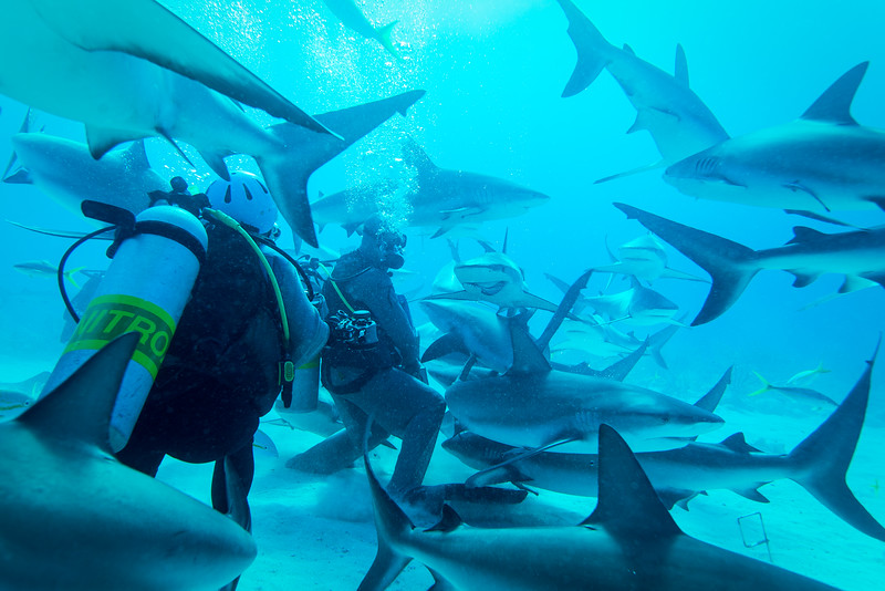 The Joker and other Caribbean Reef Sharks looking for an handout in Nassau, Bahamas - February 2017