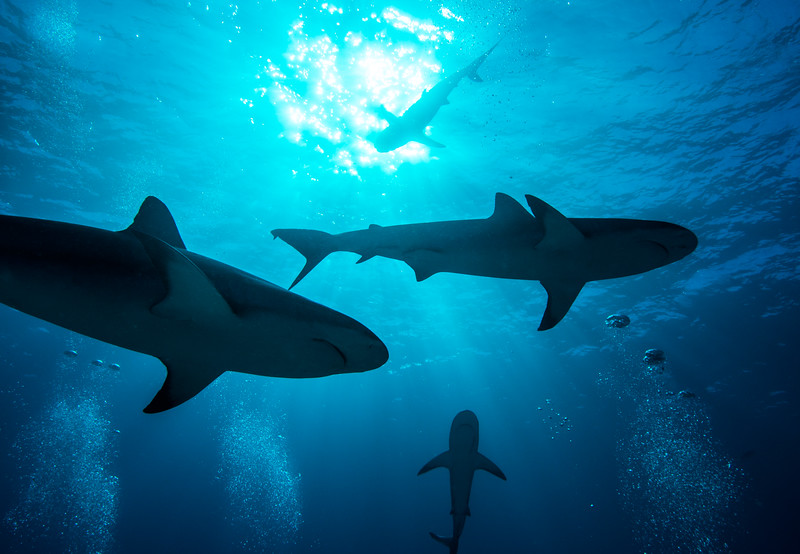 Sharks approaching from above in  Nassau, Bahamas - February 2017