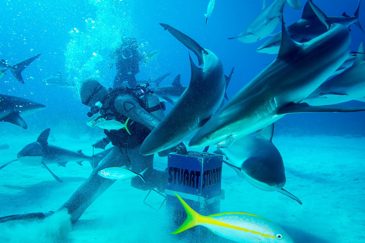 "Shark feeder prepping the bait.  The ""Joker""  (shark with injured mouth that looks like it is smiling) is also pictured.   Nassau, Bahamas - February 2017"