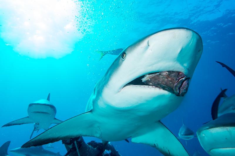 Caribbean Reef Shark with Grouper head in Nassau, Bahamas - February 2017