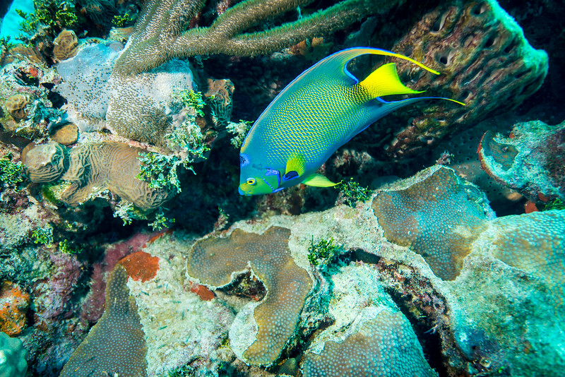 """Queen Angelfish at """"Steel Forrest"""" dive site in Nassau, Bahamas - February 2017"""