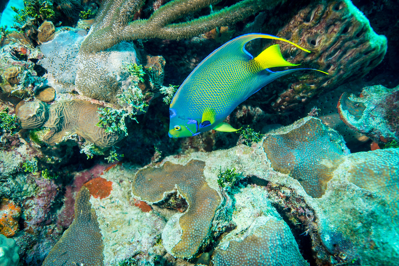 "Queen Angelfish at ""Steel Forrest"" dive site in Nassau, Bahamas - February 2017"
