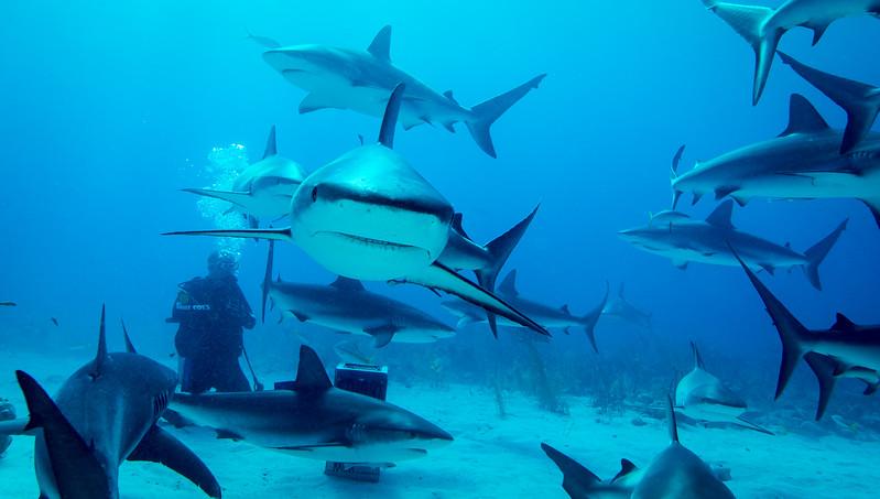 Caribbean Reef Sharks in Nassau, Bahamas - February 2017