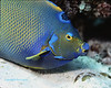 Queen Angelfish Macro 2